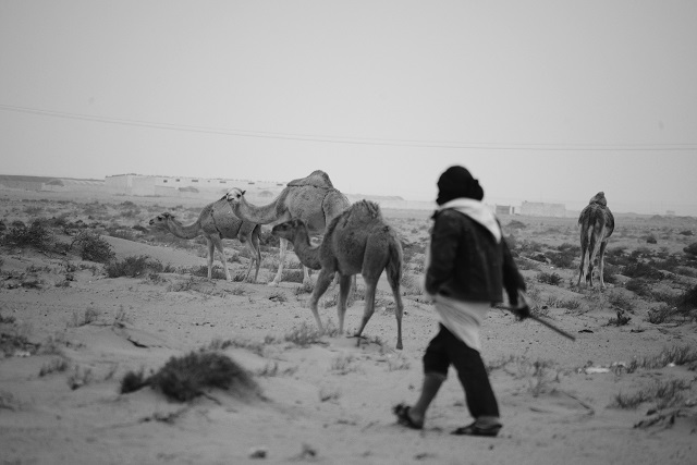 Sahrawi man tends to his herd of camels